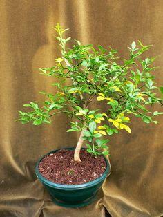 Poncirus trifoliata Bitterorange
