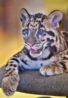 Beautiful clouded leopard cub T the San Diego Zoo. (Ion Moe) and yelling meme blank, pets and farm kindergarten name tags. Small Wild Cats, Big Cats, Cute Cats, Leopard Cub, Clouded Leopard, Animals And Pets, Baby Animals, Cute Animals, Funny Animals