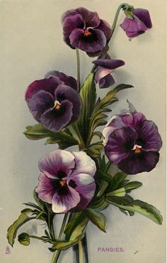 Vintage pansies                                                                                                                                                      More