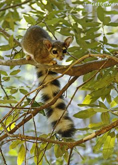 """Ringtail (Bassariscus astutus):  The ringtail is a mammal of the raccoon family, native to arid regions of North America. It is also known as the ringtail cat, ring-tailed cat, miner's cat or """"marv cat,"""" and is also sometimes mistakenly called a """"civet cat."""""""