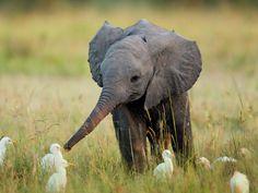 Cutest baby elephant with ducks