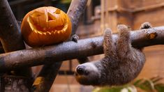 """Baby sloth Edward gets ready for Halloween! Edward is impossibly cute! """"Every day I hang him up*..."""", haha, what a sentence! [*on a branch to strengthen his muscles]"""