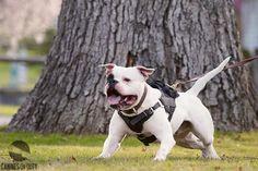 American Bulldogs, Pitbulls, Training, Pit Bulls, Pitbull, Work Outs, Excercise, Onderwijs, Race Training