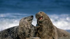 Grey seals at Heligoland, Germany (© Robert Harding Picture Library/SuperStock)