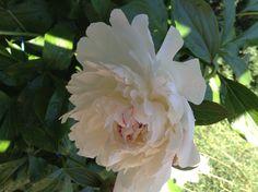 Peony White, from my garden