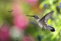 https://flic.kr/p/aNenEV | Hummingbird and Honey Bee_RGB7986hb | Ruby Throated Hummingbird confronted by a Honey Bee. The Bee wins every time. Smart Hummingbirds.