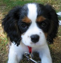 looks just like my Sam. Great, now i have puppy fever.