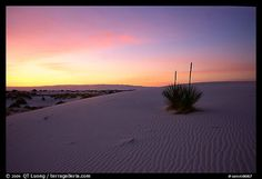 Yucca at sunrise. White Sands National Monument, New Mexico, USA
