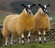 Bluefaced Leicester Sheep (So that's what they look like!)