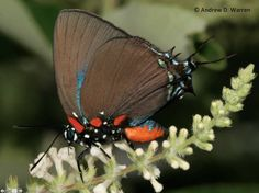Great Purple (Blue) Hairstreak (Atlides halesus)