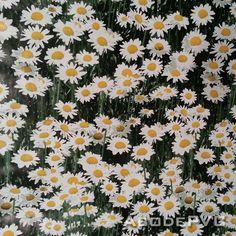 PVC Daisy Field Daisies Oilcloth Vinyl Tablecloth Wipe Easy 140CM Width    EBay