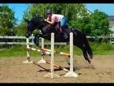 Dutch Warmblood/Thoroughbred for sale for sale in Windsor, Ontario USA.