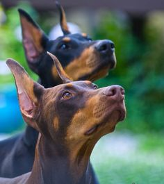 The Doberman Pinscher is among the most popular breed of dogs in the world. Known for its intelligence and loyalty, the Pinscher is both a police- favorite Doberman Funny, Doberman Love, Doberman Colors, Cute Puppies, Cute Dogs, Dogs And Puppies, Doggies, Weimaraner, Rottweiler