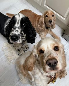 Cocker Spaniels are very friendly dogs. That is why today a lot of people choose them as pets. And there are 15 facts about them that can surprise you, especially if you don't have a Cocker Spaniel yet. Cute Dogs And Puppies, I Love Dogs, Doggies, Cute Baby Animals, Animals And Pets, Cocker Spaniel Puppies, English Cocker Spaniel, Black Cocker Spaniel, American Cocker Spaniel