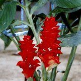 Zingiber spectabile 'Glowing Orb' | Glowing Orb Beehive Ginger| plant lust