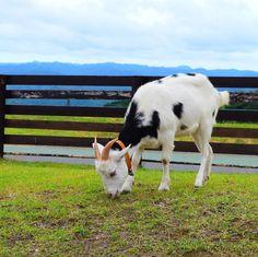 2017.07.23 . .  #Nikon   #d5500   #写真   #写真好きな人と繋がりたい   #写真を撮るのが好きな人と繋がりたい   #フォトグラファーと繋がりたい   #カメラ  . #マザー牧場   #ヤギ   #食事中   #草原