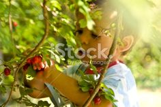 Little boy picking cornel Boy Photos, Image Now, Little Boys, Royalty Free Stock Photos, Tricks, Interesting Facts, Lawn And Garden, Pear, Recipies