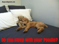 DO YOU SLEEP WITH YOUR POODLE???