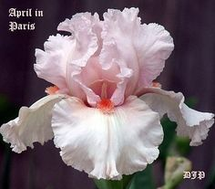 Iris (Iris 'April in Paris') uploaded by Ladylovingdove