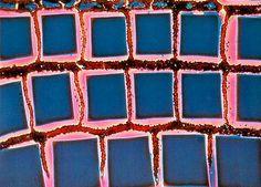 John K. Douglass, Duke University, Zoology Department - Durham, North Carolina, USA  Specimen: Compound eye of grass shrimp stained with methylene blue (200x)  Technique: Phase Contrast