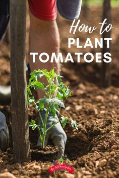 Knowing how to plant tomatoes and what tomato plants need afterwards, like support and feeding , will set you up for a g Herb Garden Pallet, Diy Herb Garden, Tomato Garden, Tomato Plants, Potager Garden, Pot Plants, Garden Ideas, How To Plant Tomatoes, Garden Tomatoes