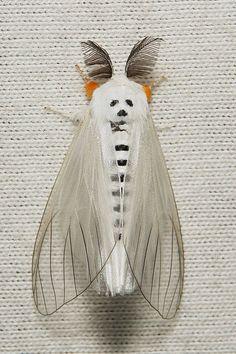Panda Moth