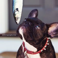 """Hmmmmmmm, something smells Fishy""........ Cautious French Bulldog."