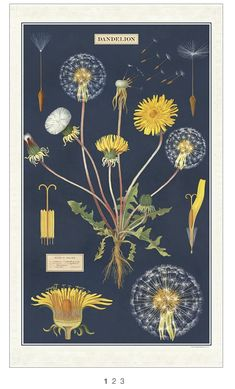 Dandelion Plant, Dandelion Flower, Illustration Botanique, Botanical Illustration, Unique Wrapping Paper, Vintage School, Cool Posters, Hanging Art, Vintage Posters