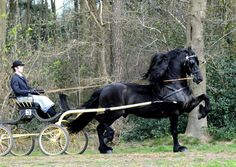 A high style, high stepping Tennesse Walker. These walkers are known for their black coats, deep chests, high thick hooves, high lift to their front legs, and the high carriage of their heads. Here one pulls a buggy.