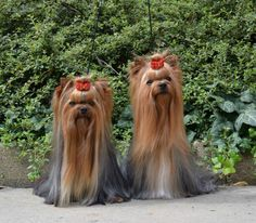 VeraKosarova Kamelie & Bugatti Yorkie Dogs, Puppies And Kitties, Cute Puppies, Cute Small Dogs, Cute Funny Dogs, Beautiful Dogs, Animals Beautiful, Cute Animals, Yorkie Hairstyles