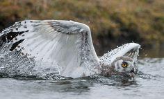 Refugio ruso · National Geographic.  En agosto, los polluelos de búho nival empiezan a volar, a veces de una forma muy graciosa. Después de caer en picado dentro de un río, este ejemplar joven utiliza las alas como remos para impulsarse hasta la orilla.