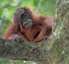 What does an orangutan look like when he's watching his home destroyed by 'sustainable palm oil' manufacturers? Go palm oil free