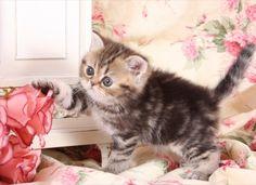Tabby Persian Kittens