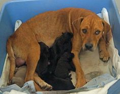 **SUPER URGENT**MOM AND PUPS NEED A RESCUE TO PULL THEM**GLORIA IS A SENIOR WITH PUPS**WHY?**IRVING ANIMAL SHELTER TEXAS**972-721-3597 OR 972-721-2256**VISIT FACEBOOK FOR MORE DETAILS**PLEASE NETWORK**NO KILL DATE SET YET**HELP SAVE SENIOR MOM AND PUPS**THANK YOU...DANA