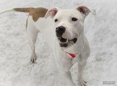 Petfinder  Adoptable | Dog | Labrador Retriever | Chicago, IL | Blanca