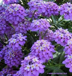 View picture of Globe Candytuft, Common Candytuft (Iberis umbellata) at Dave's Garden.  All pictures are contributed by our community.