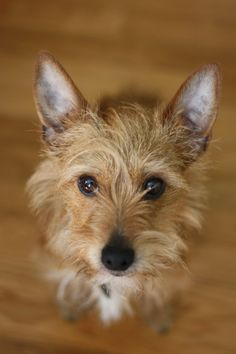 CHUCK -- Australian terrier mix, friend to Sam and Dean. Chuck lives with a struggling writer. He met the Winchesters after they had averted a crisis and basically saved his life. Chuck is generally intimidated by them but trusts them nonetheless.
