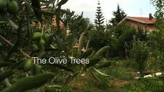 The Olive Trees - A Minute in the (Sicilian) Garden 46 from A Gardener's...
