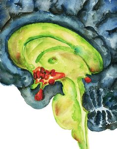 Pineal Gland Hypothalamus and Pituitary Watercolor by LyonRoad