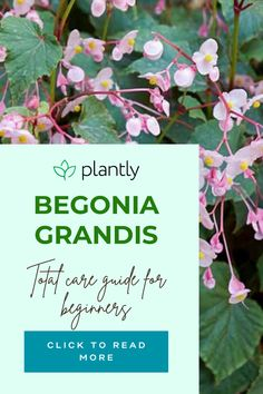 I remember when I first bought my Begonia Grandis. I will just say that it didn't seem that hardy at all. I recall how fragile it seemed with its winged-shaped olive green leaves. And, now you think I must be crazy for saying all this stuff about begonia grandis, but I did really think this about it. After a while, I got so attached that my only gardening concern was how to keep my perennial begonia perennial indeed. So, for all of you out there wondering how to do that, this is how.