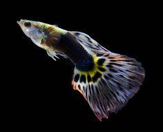 poissons guppy
