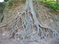 Greenville, SC tree roots