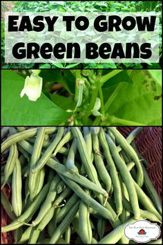 Want to learn how to grow green beans? They're an easy to grow vegetable for any garden. Beginner gardeners can grow green beans easily. anbauen How to Grow Green Beans Indoor Vegetable Gardening, Home Vegetable Garden, Fruit Garden, Edible Garden, Organic Gardening, Container Gardening, Gardening Vegetables, Indoor Garden, Planting Plants