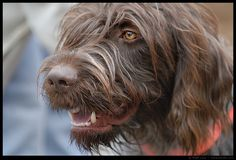 Wirehaired Pointing Griffon