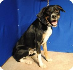 I'm Reco, a good looking, neutered dog, if I do say so myself. Lots of fun, too. Looking for my forever home. Come soon. This shelter is overloaded. Parker Co. Animal Shelter, Weatherford, Tx. 817-598-4111.