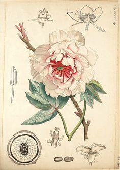 Paeonia (Ranunculaceae), by J.G. Meijer, 1888
