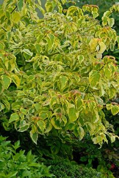 Golden Shadow Dogwood~ Slow-growing, small tree with the classic, layered habit of species. Features broad, gold edged foliage on a lime-green back with flowers and red-tinged new growth. Garden On A Hill, New Growth, Small Trees, Garden Landscaping, Lime, Bloom, Herbs, Landscape, Future