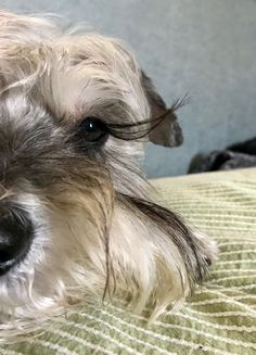 #3 #new #pinterest #dog #doglovers #love #like4like Schnauzer Breed, Mini Schnauzer Puppies, Miniature Schnauzer, Schnauzers, Best Dog Breeds, Best Dogs, I Love Dogs, Puppy Love, Intense Love