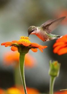 Hummingbird - orange flower