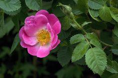 Rosa Flora Mac Ivor, rosier botanique au feuillage à odeur de pomme verte. Il offre une profusion de fleurs simples roses à étamines jaunes d'or, suivies de nombreux fruits allongés rouge orangé très décoratifs. Rubiginosa, botanique. Penzance, 1894.
